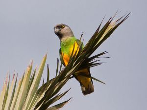 Senegal green parrot in the wild