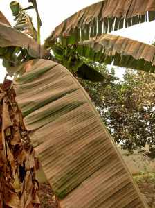 Harmattan dusty bannana tree