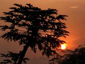 Papaya tree in sunset