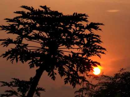 Papaya tree in sunset during Harmattan in Accra