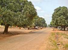 Mango trees lining road in Kpandai, Ghana