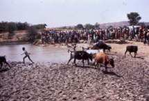 Chasing cows out of pond for baptism
